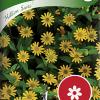 Sanvitalia procumbens 'Million Suns'-thumbnail