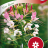 Cleome 'Rose Queen'-thumbnail