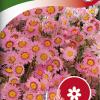 Rhodanthe manglesii-thumbnail