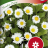Bellis perennis 'Meadow Daisy'-thumbnail