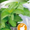 Stevia-thumbnail