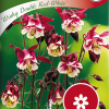 Aquilegia 'Winky Double Red-White'-thumbnail