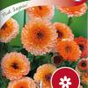 Calendula officinalis 'Pink Surprise'-thumbnail