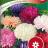 Kiinanasteri 'American Branching mix'-thumbnail