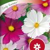 Cosmos bipinnatus 'Early Summer-thumbnail