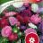 Kiinanasteri 'Dwarf Chrysanthemum mix'-thumbnail
