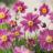 Anemone hupehensis 'Prinz Heinrich'-thumbnail