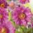 Anemone hybrida 'Pamina'-thumbnail