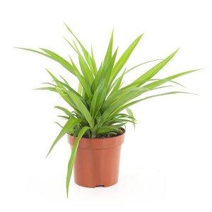 Spider plant Chlorophytum com. lemon p 12 T_PRODUCT_IMAGE