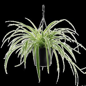 Spider plant Chlorophytum com. variegatum in ampel T_PRODUCT_IMAGE