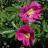 Dart's Defender Keijunruusu (Rosa 'Dart's Defender') 3 L-thumbnail