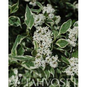 Cornus alba 'Elegantissima' 3 L T_PRODUCT_IMAGE