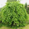 Euroopanvalkopyökki Carpinus betulus-thumbnail