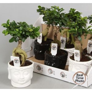Ficus ginseng bonsai Week offer T_PRODUCT_IMAGE