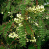 Pihlaja (Helmipihlaja) Sorbus koehneana-thumbnail
