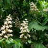 Hevoskastanja Aesculus hippocastanum-thumbnail