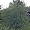 Hopeasalava (Hopeapaju) Salix alba var. sericea 'Sibirica'-thumbnail