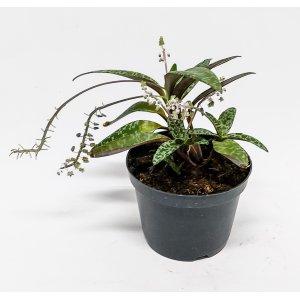 Scilla violacea (Ledenbouria socialis) p 12 T_PRODUCT_IMAGE