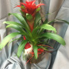 Guzmania Christmas arrangement-thumbnail