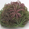 Tillandsia brachycaulos red enhanced-thumbnail