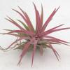 Tillandsia Ionantha red-thumbnail