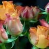 Bouquet of Peach roses 'Marie Claire'-thumbnail