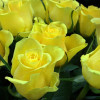 Bouquet of yellow roses-thumbnail