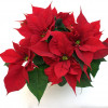 A traditional multi-treetop poinsettia-thumbnail
