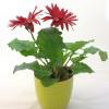 Red gerbera with a ceramic pot-thumbnail