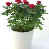 Potted rose with ceramic pot-thumbnail