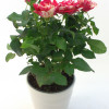 Potted rose with ceramic pot, smaller-thumbnail