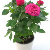 Potted rose without ceramic pot, smaller-thumbnail