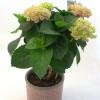 Hydrangea with body-thumbnail