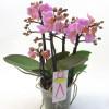 Violet phalaenopsis Orchid -thumbnail