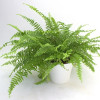Fern plant-thumbnail