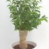 Ficus tree plant-thumbnail