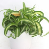 Spider plant-thumbnail