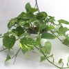 Dragon tail plant-thumbnail