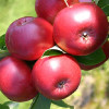 Autumn Malus Domestica