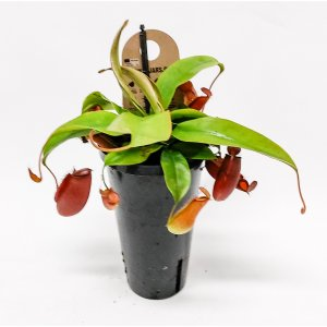 Nepenthes Monkey Jars p 12 T_PRODUCT_IMAGE