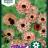 Calendula officinalis 'Bronzed Beauty'-thumbnail