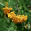 Pihlaja (Keltamarjapihlaja) Sorbus aucuparia 'Xanthocarpa' -thumbnail