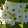 Tuomi (kerrottukukkainen) Prunus padus-thumbnail