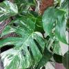 Monstera variegata-thumbnail