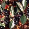 Aronia prunifolia-thumbnail
