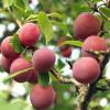Luumu Prunus domestica