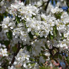 Decorative Malus Dolgo-thumbnail