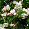 Decorative Malus Erstaa-thumbnail