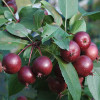 Decorative Malus Purpuea