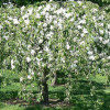 Decorative Malus Hyvingiensis-thumbnail